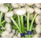 Conventional - Garlic - Local WA Garlic  - 1 bulb